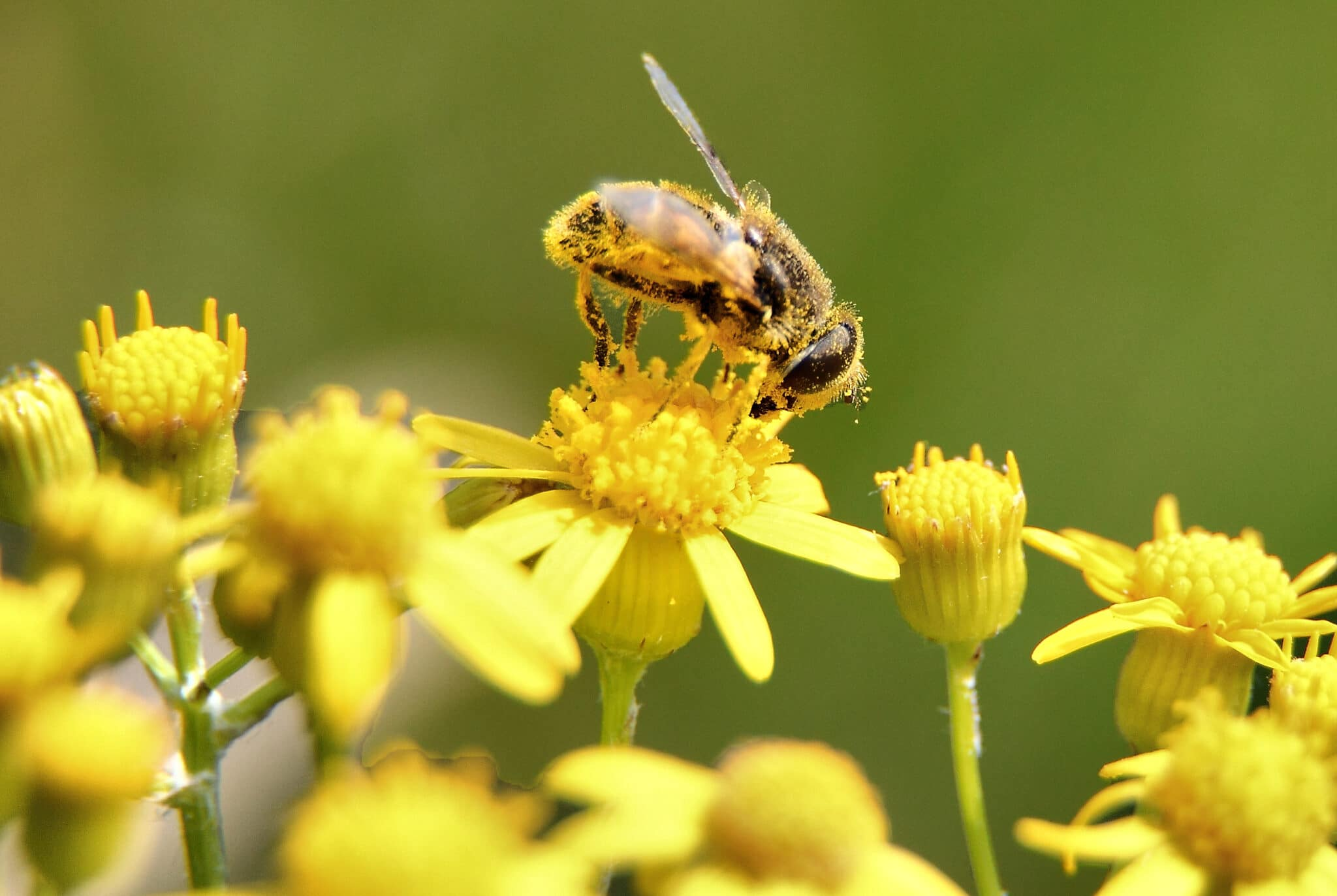 Bee collecting pollen, a major allergen