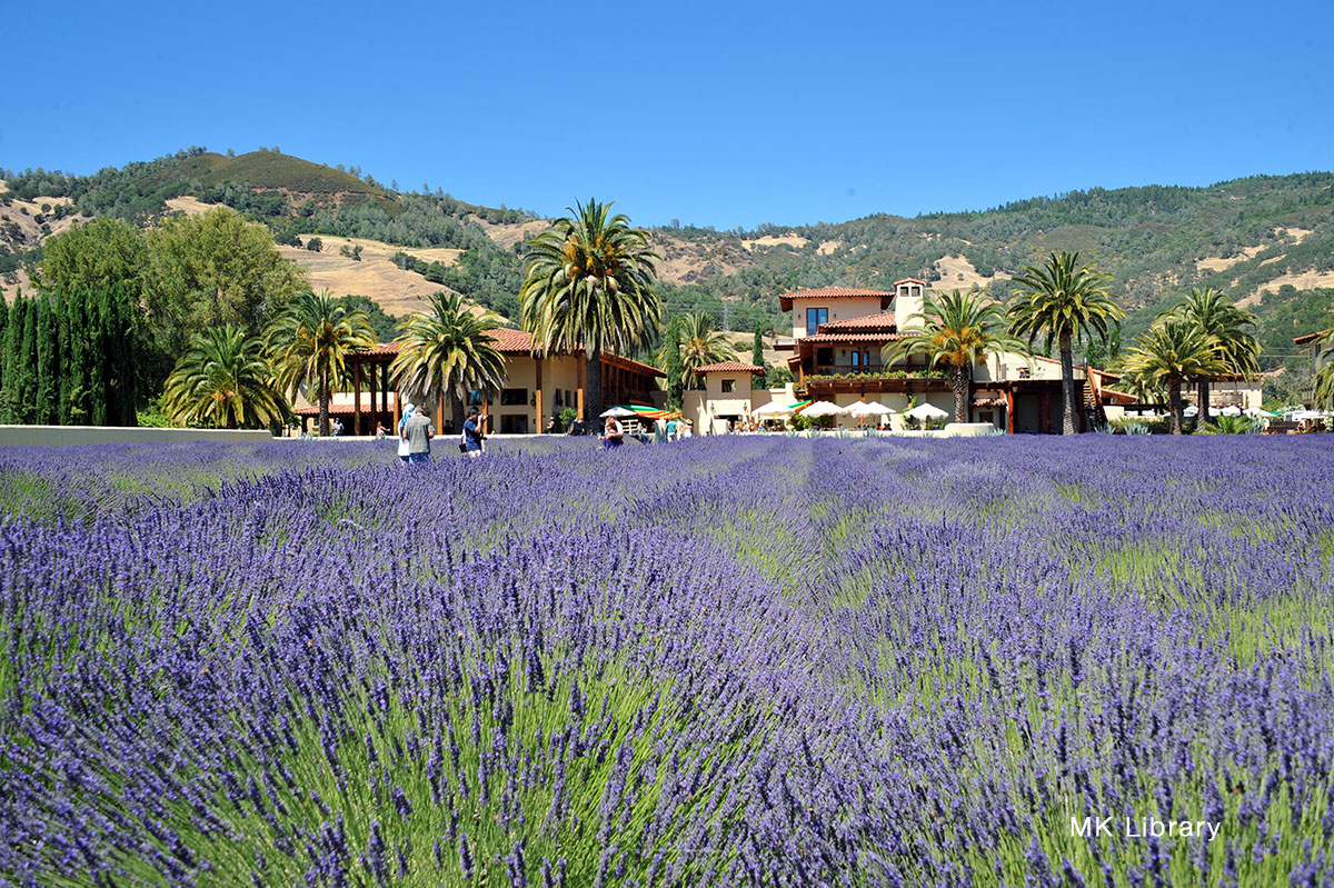 cooking with lavender field