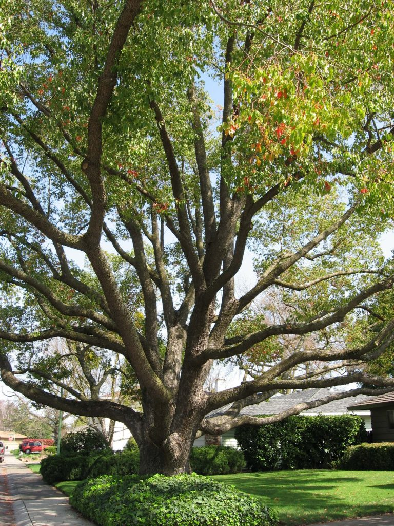 camphor tree wide limbs