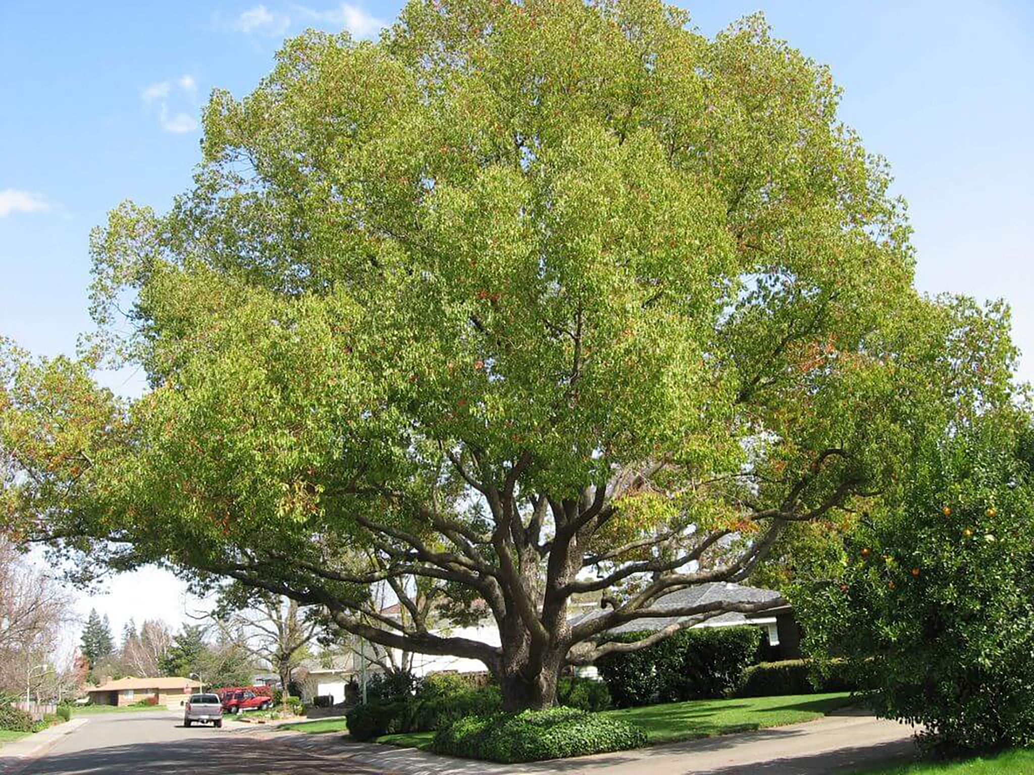 Camphor trees - should you plant one? 1 ahh, the magnificent and contentious camphor tree. These trees stay green year long, provide plenty of shade, emit a fragrant minty smell and are just one of those trees you want to go up and give a good hug. Ask another tree lover, however, and they might say the camphor is one tree to steer clear of.