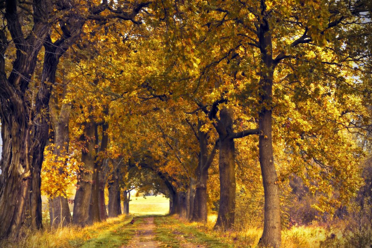 Drive way lined with deciduous oak trees.