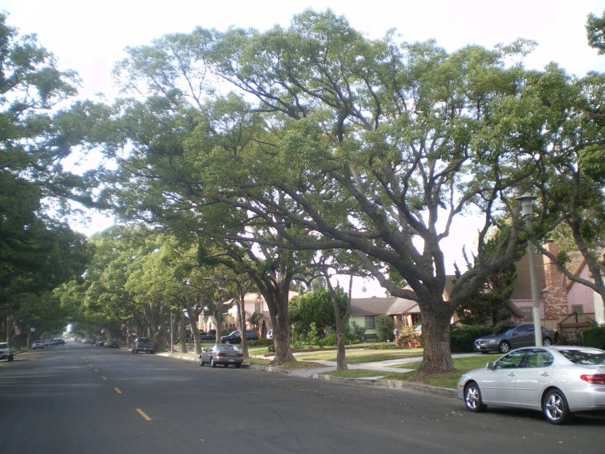 camphor tree in a residential neighborhood