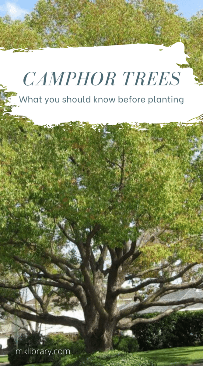 What you should know before planting a camphor tree