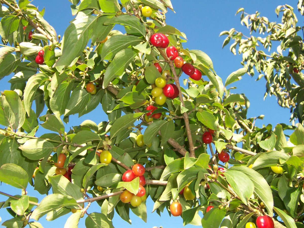 The cornelian cherry dogwood is a shrub-like tree that hails from eastern europe and western asia