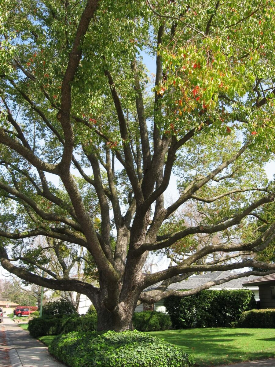 Large camphor tree with a wide canopy