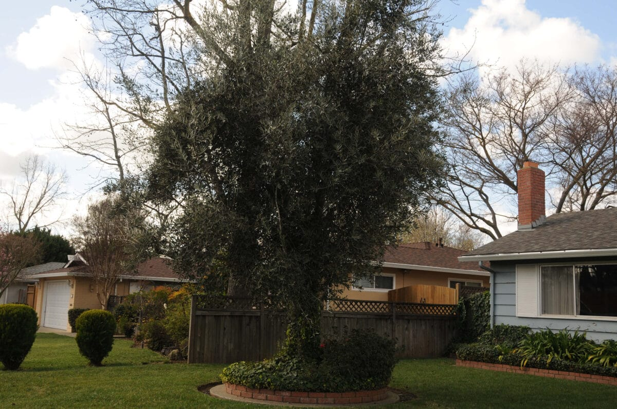 How to care for olive trees 5 if allowed to grow and flourish, olive trees make a great addition to any californian yard.