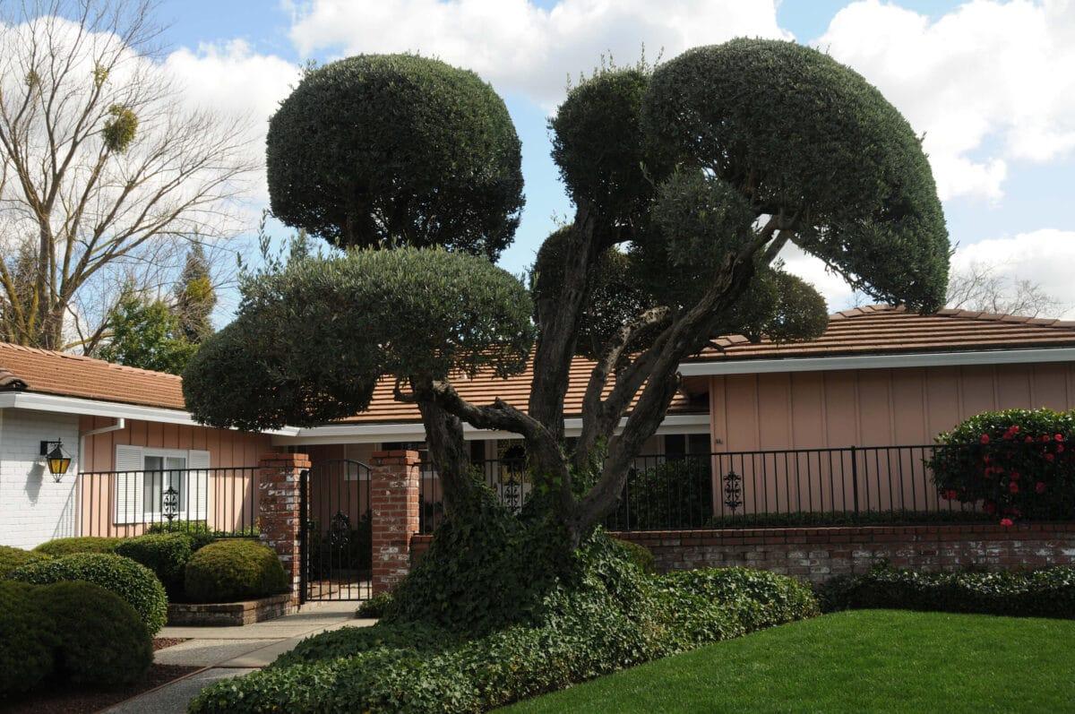 How to care for olive trees 4 if allowed to grow and flourish, olive trees make a great addition to any californian yard.