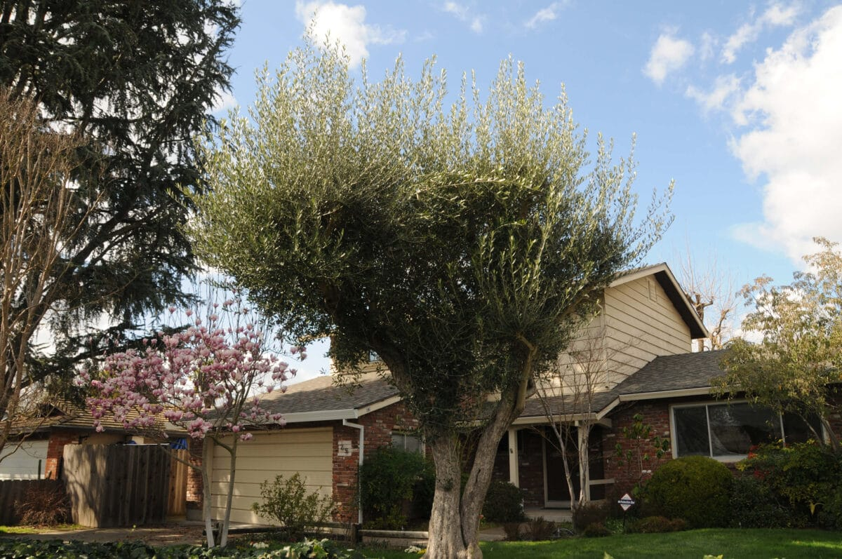 How to care for olive trees 2 if allowed to grow and flourish, olive trees make a great addition to any californian yard.