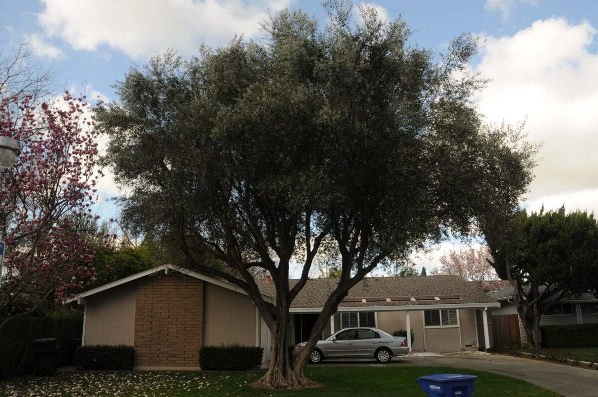 How to care for olive trees 1 if allowed to grow and flourish, olive trees make a great addition to any californian yard.