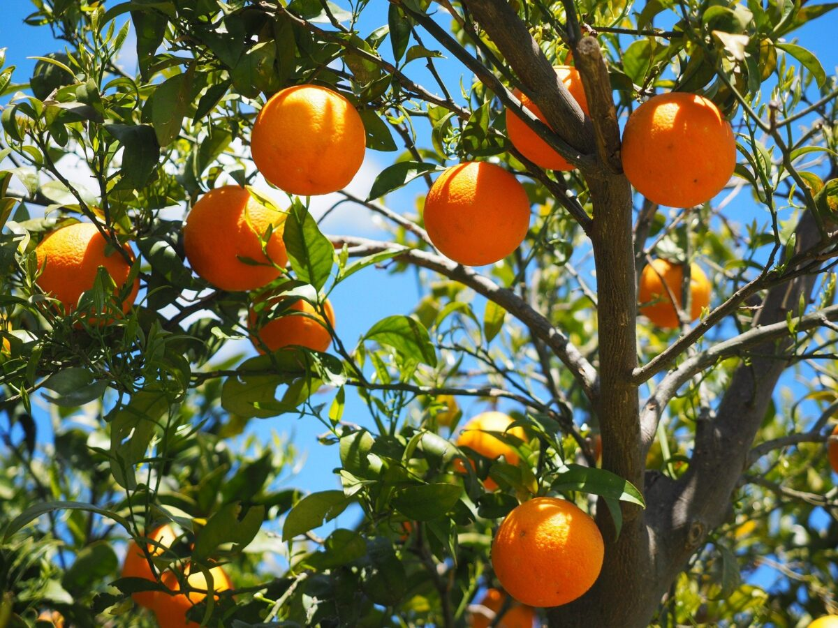 When to fertilize fruit trees 1 in order to stay healthy and grow, all plants need to absorb certain chemical elements from the soil.