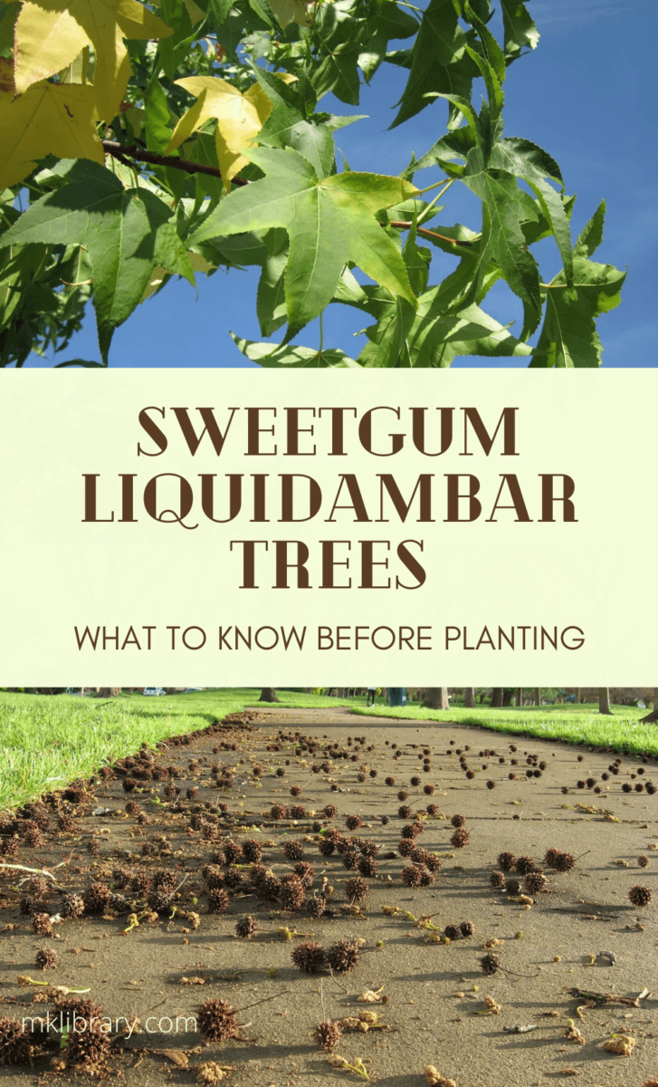 Sweetgum liquidambar trees, what to know before planting
