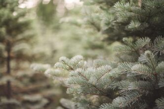 The Holiday Guide to Live Christmas Trees