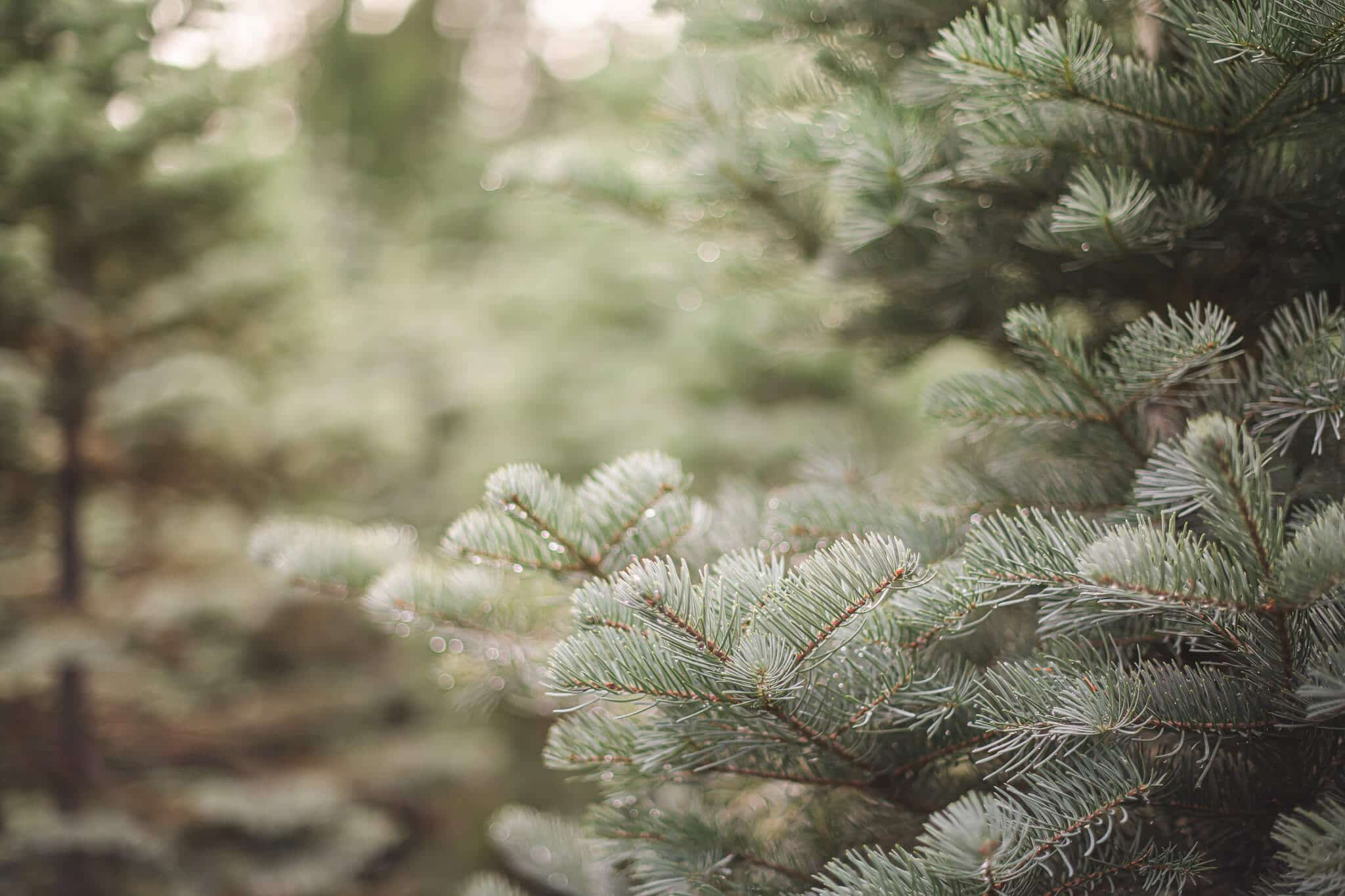 Holiday Guide to Live Christmas Trees