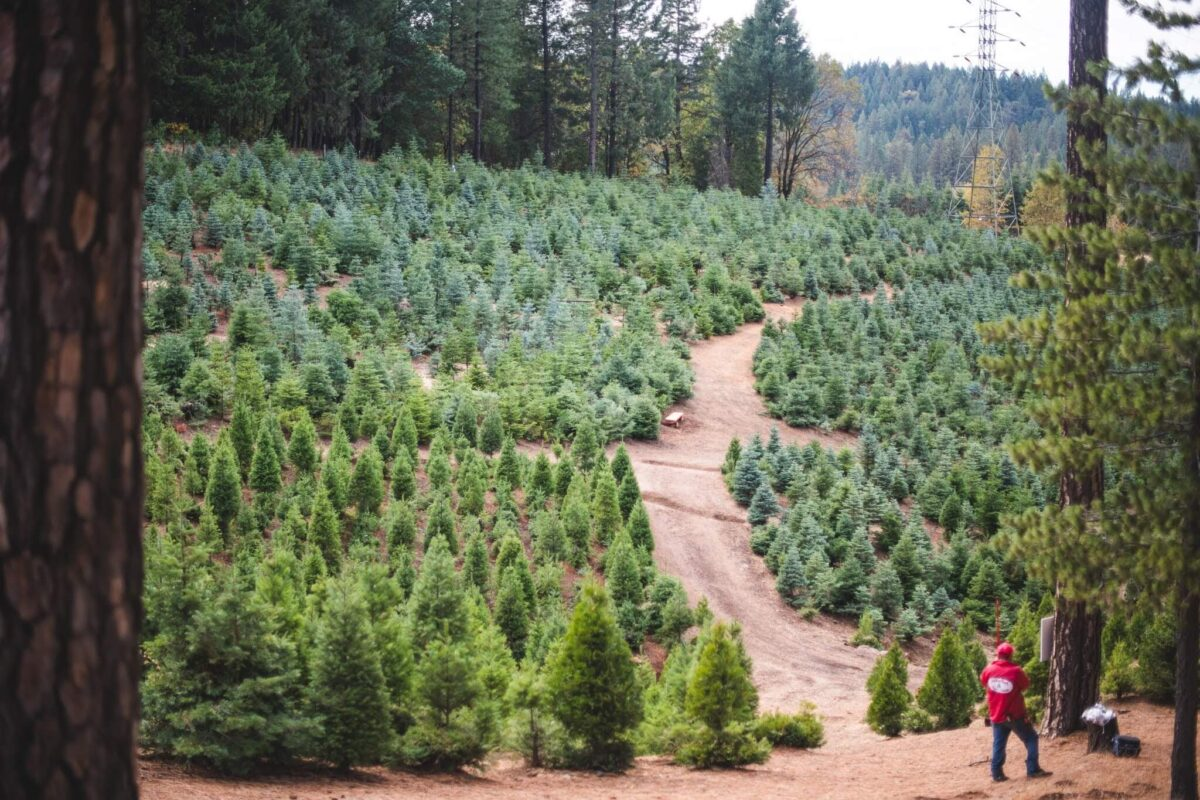 Rows of trees at Indian Rock Tree Farm