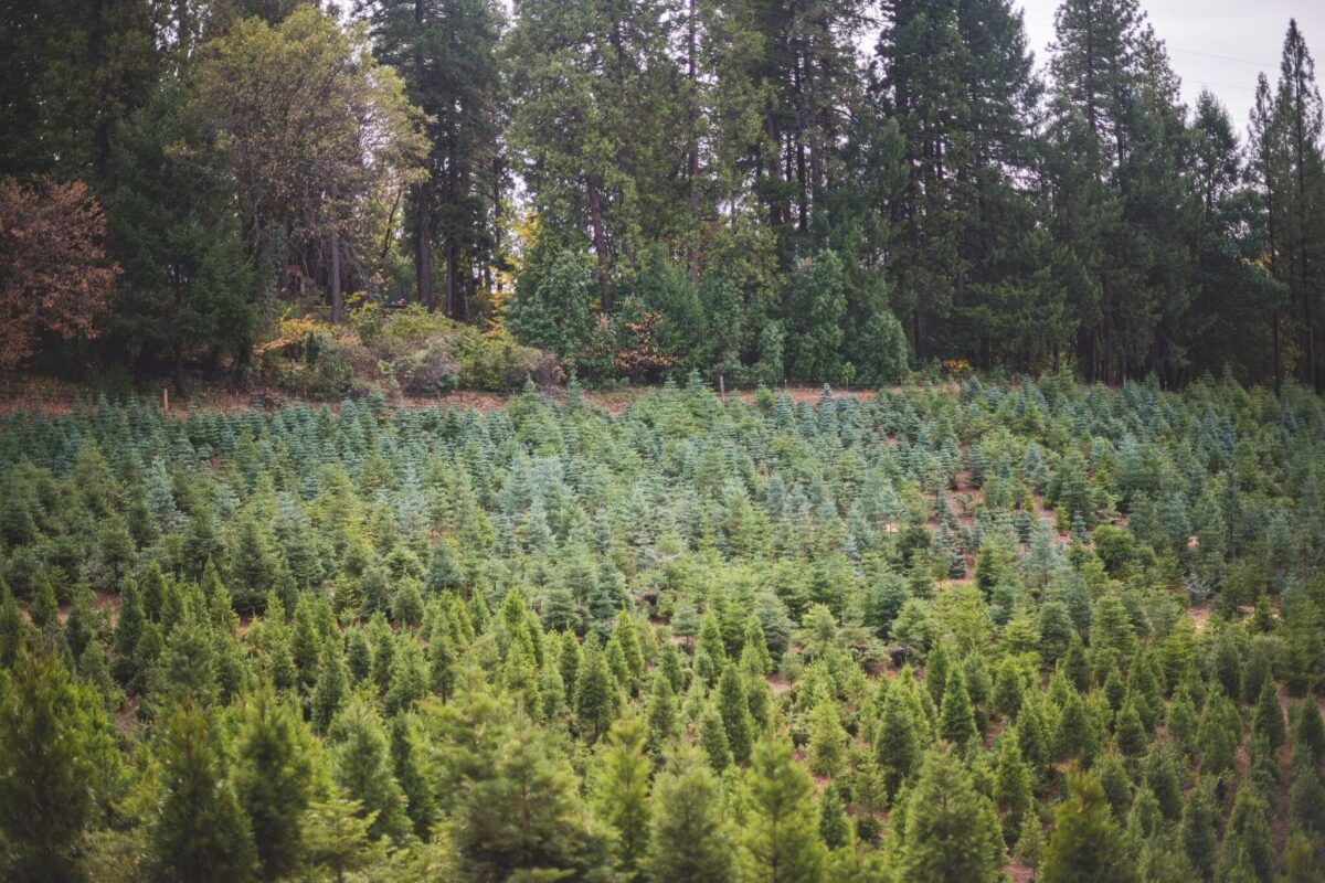 rows of Christmas trees at Indian Rock