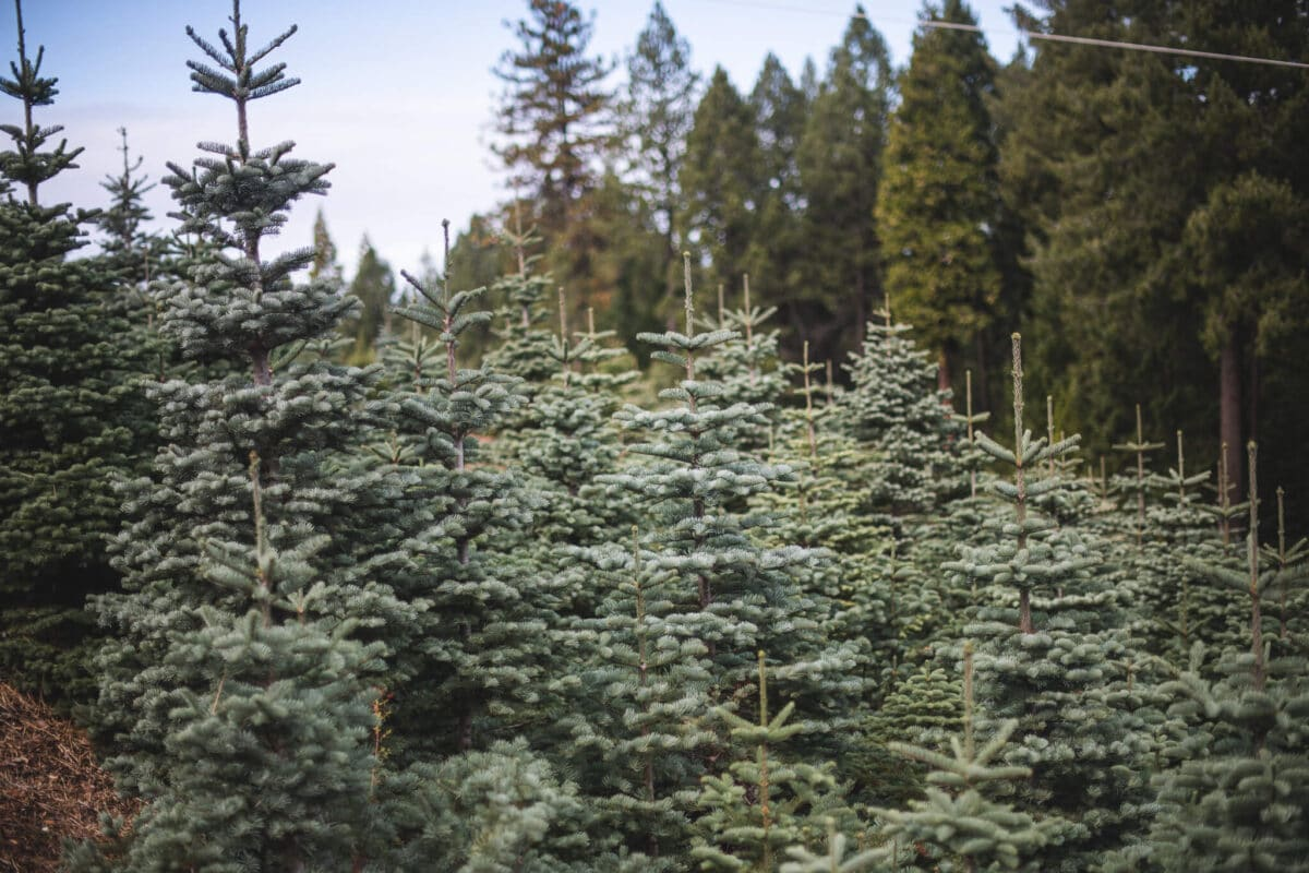 The Holiday Guide to Live Christmas Trees 2 Read this before you buy your next Live Christmas Trees this holiday season. I visited a multi-generational 60+ year old Christmas Tree farm to find out everything there is to know about these trees. Learn which trees to buy, how to care for them, and what makes Christmas tree farms so sustainable.