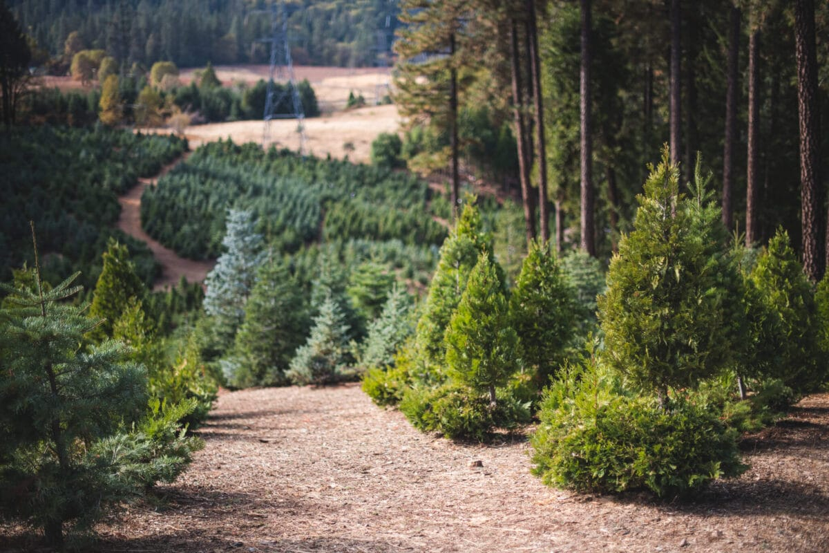 The Holiday Guide to Live Christmas Trees 10 Read this before you buy your next Live Christmas Trees this holiday season. I visited a multi-generational 60+ year old Christmas Tree farm to find out everything there is to know about these trees. Learn which trees to buy, how to care for them, and what makes Christmas tree farms so sustainable.