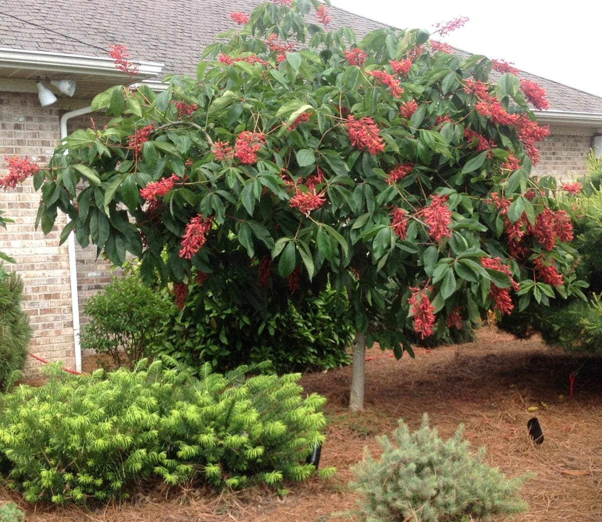 Ruby red horse chestnut tree