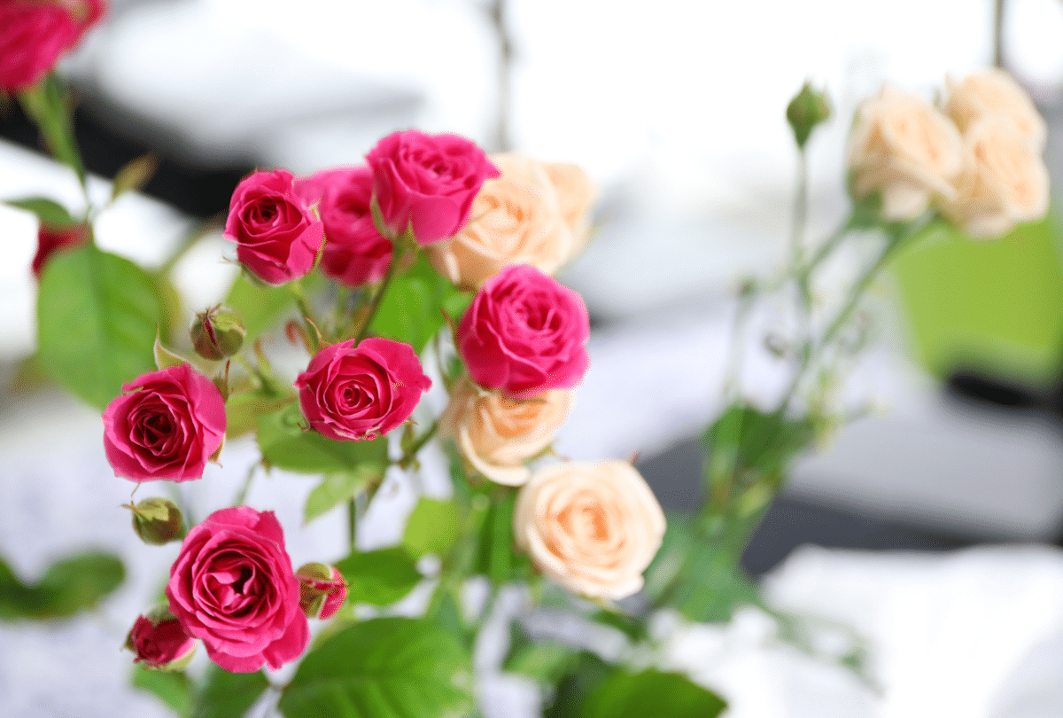 Pink and peach miniature roses growing indoors