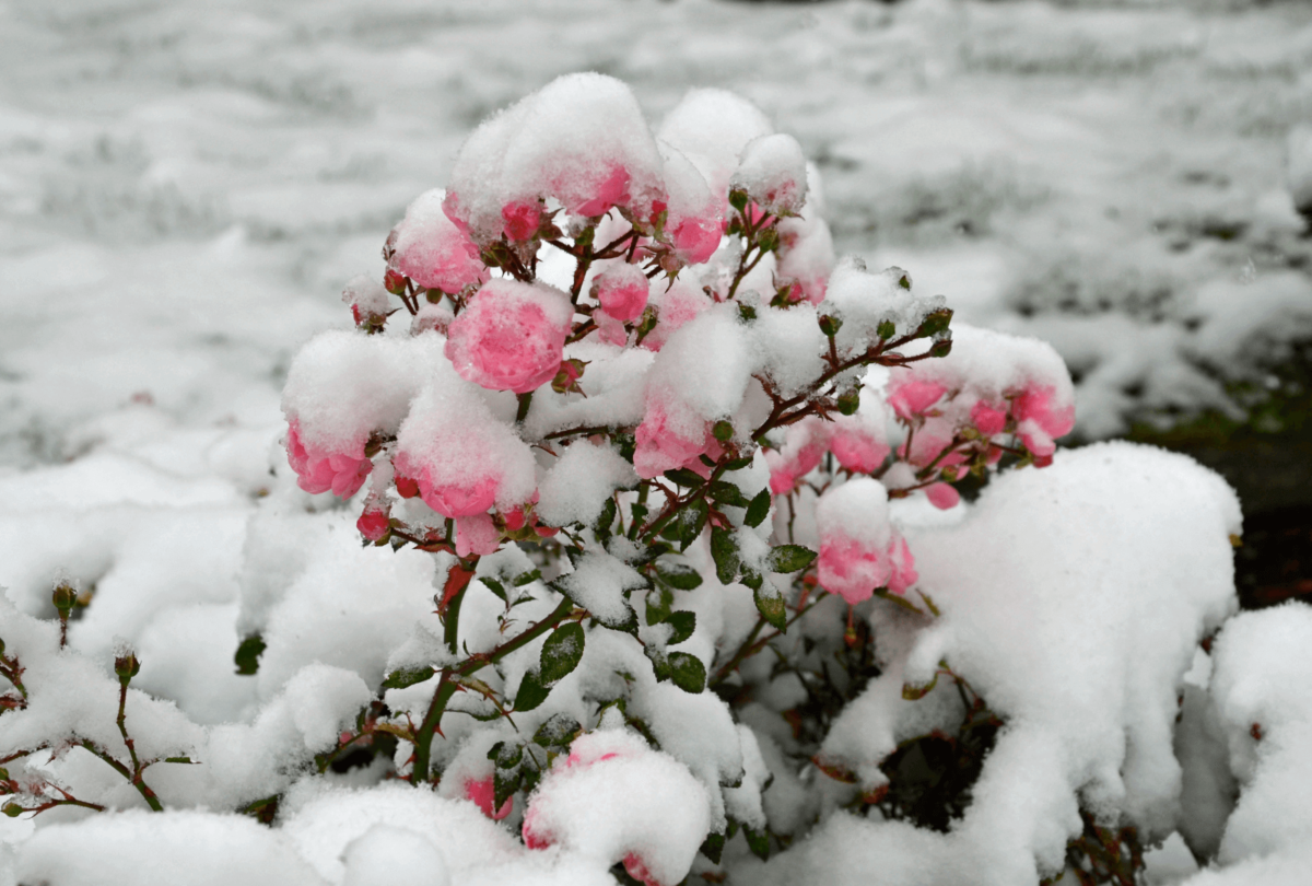 pink roses covered in snow