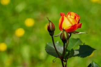 How to Grow Roses From Seeds
