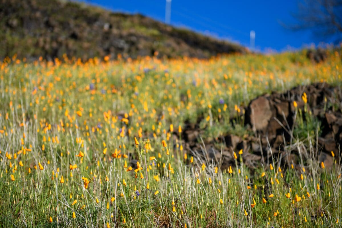California Super Bloom 2021