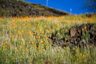 California super bloom 2021: everything you need to know
