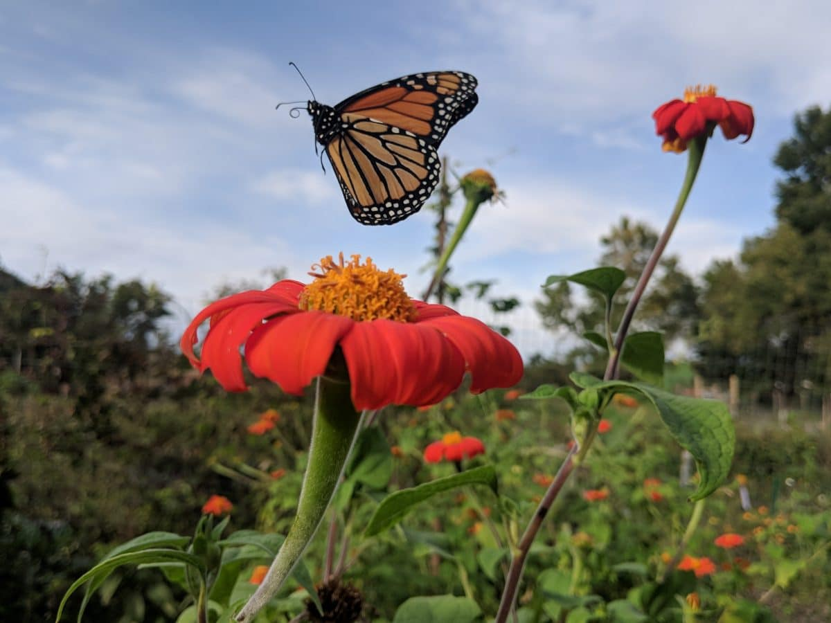 Monarch butterfly flying away from a mexican sunflower