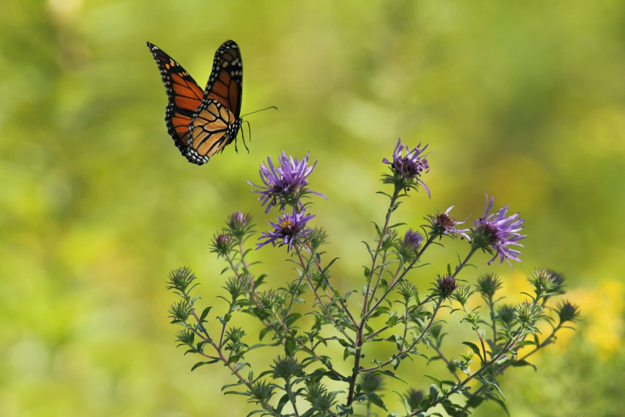 Plants that attract butterflies thistle
