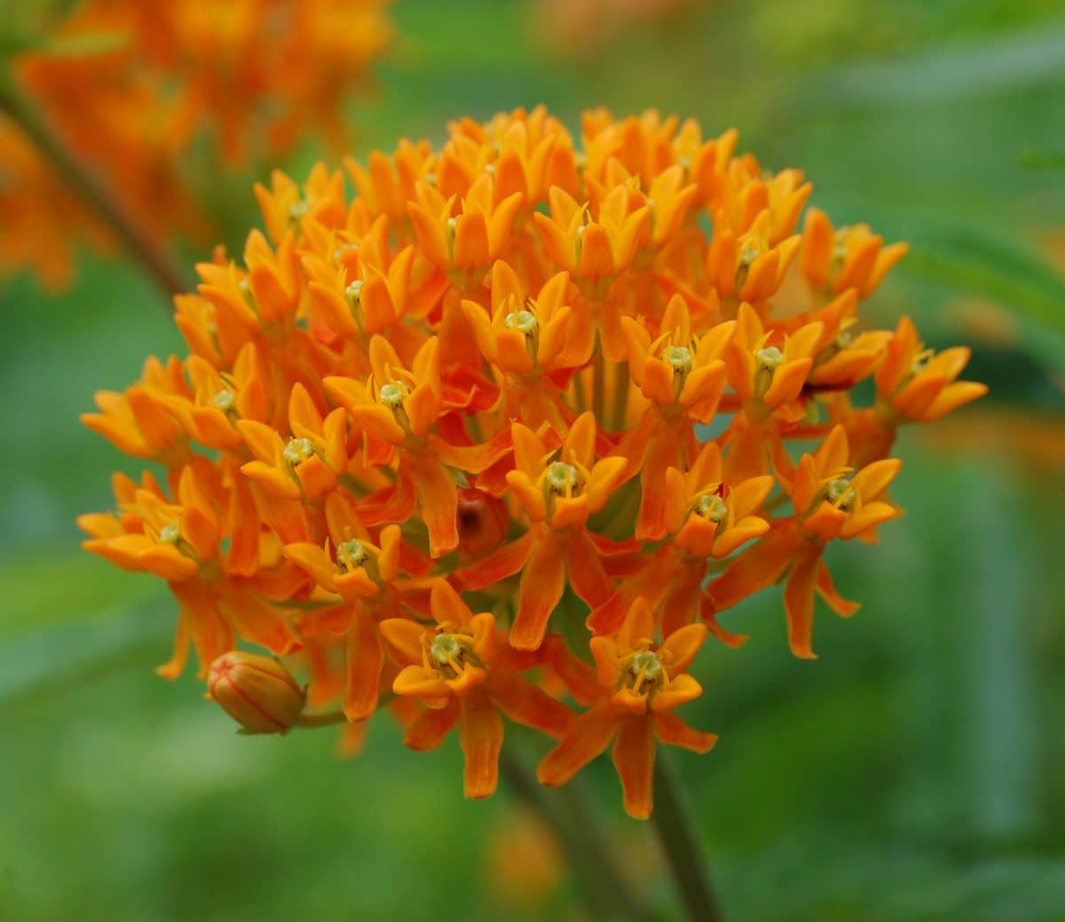 Butterfly weed plant